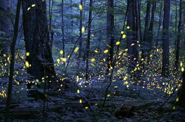 grsm-synchronous_fireflies_elkmont_photo_credit_radim_schreiber.jpg_700